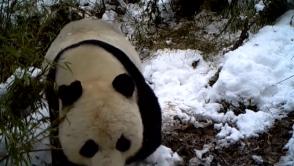 В Китае панда «обезвредила» видеоловушку