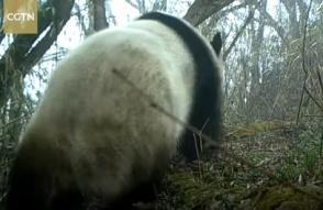 В китайском заповеднике впервые засняли дикую панду