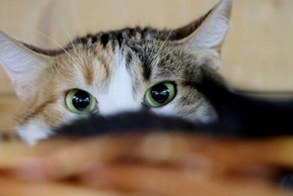 Ֆրանսիայում կատուն վարակվել է կորոնավիրուսով