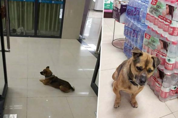 Չինաստանում հավատարիմ շունը երեք ամիս հիվանդանոցի նախասրահում սպասել է կորոնավիրուսի հետևանքով մահացած տիրոջը (լուսանկարներ)