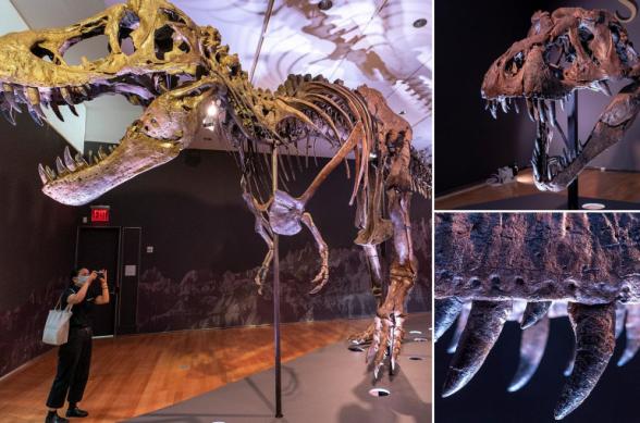 Christie's-ն աճուրդի կհանի ավելի քան 60 մլն տարի առաջ սատկած տիրանոզավրի կմախքը (լուսանկար, տեսանյութ)