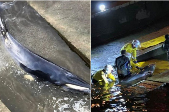 Британские спасатели вызволили застрявшего в Темзе небольшого кита